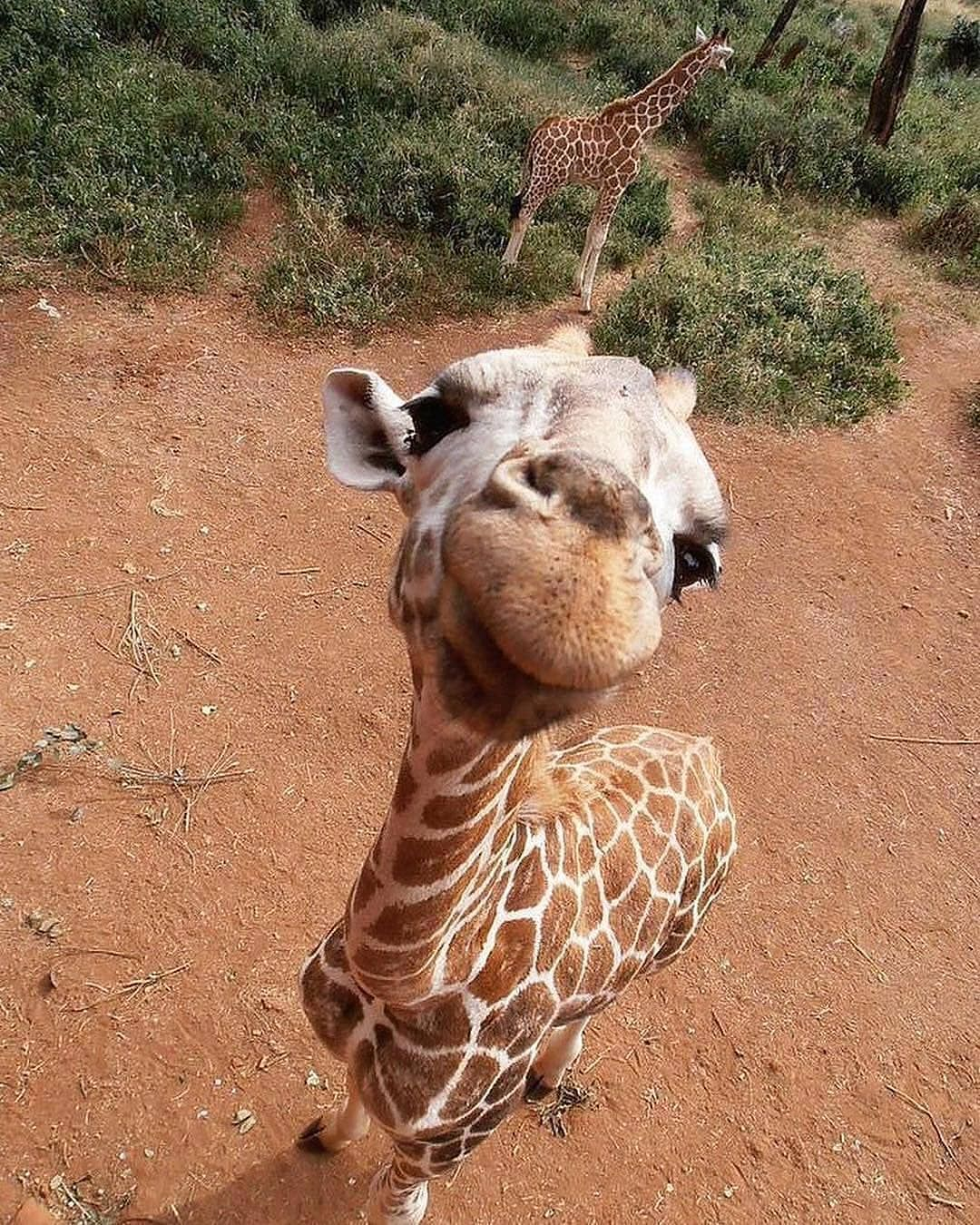 Baby Giraffe How Do You Say Giraffe In Your Language Tag A Friend That Sho Beatiful Places Amazing View Baby Animals Cute Animals Cute Baby Animals