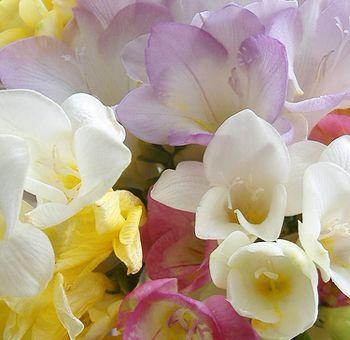 Assorted Freesia Flowers Freesia Flowers Cheap Wedding Flowers Affordable Wedding Flowers