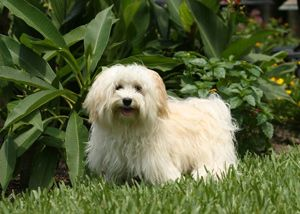 65 Best Havanese Dog Names And Cuban