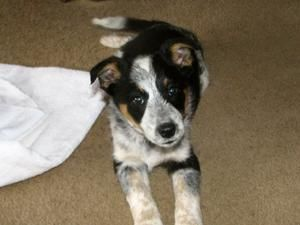Adopt Riley On Blue Heeler Dogs Australian Cattle Dog Blue