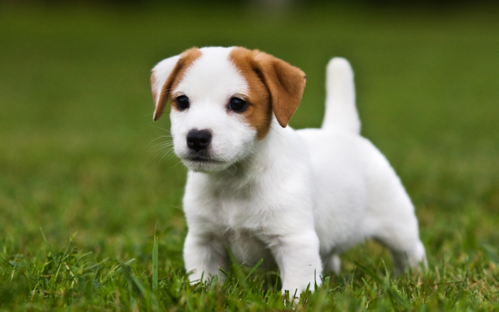 Download Wallpapers 4k Jack Russell Terrier Dog Puppy Pets