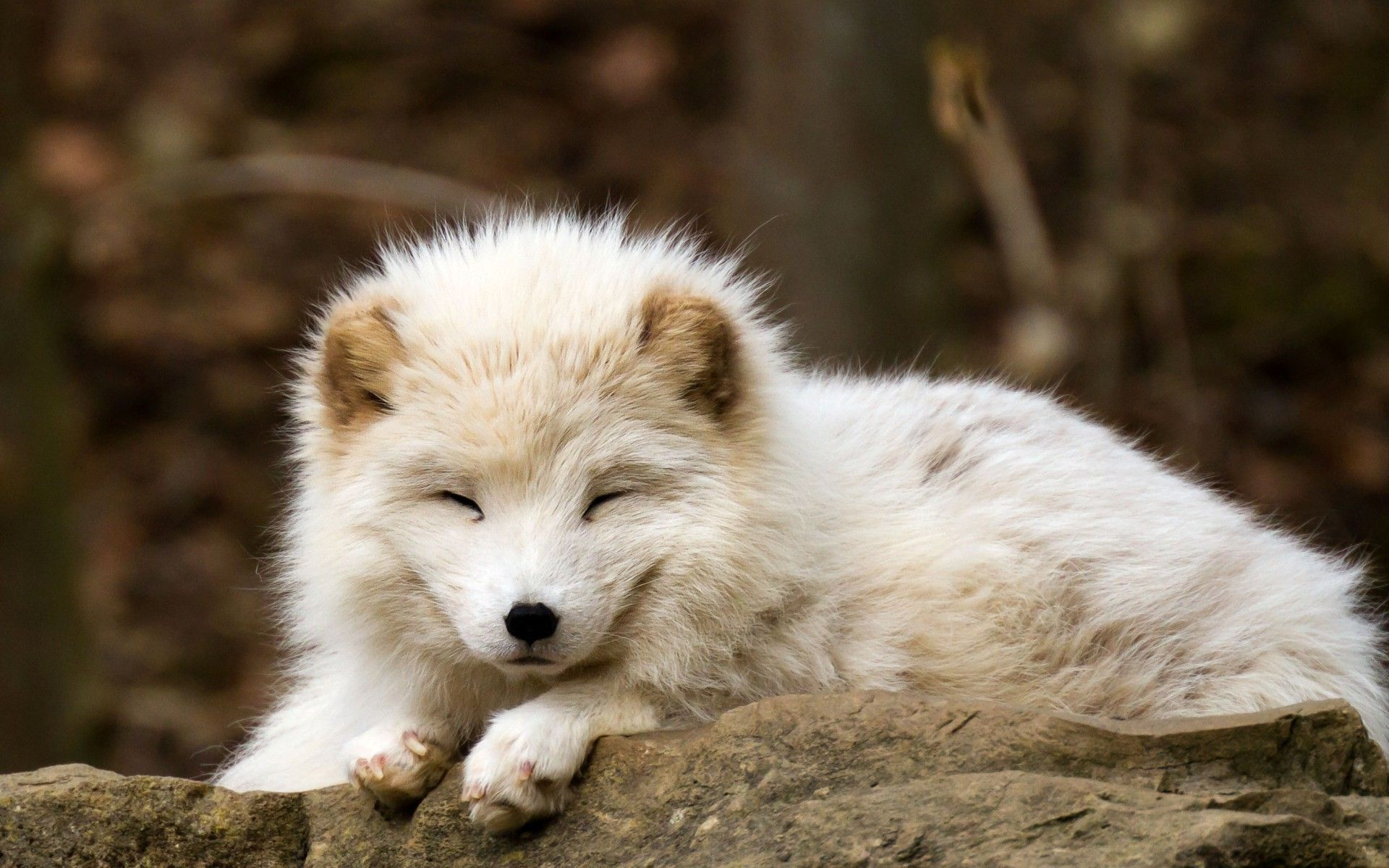 Nature Animals Baby Animals Fox Arctic Fox Wallpapers Hd Baby Animals Pictures Arctic Fox Animals
