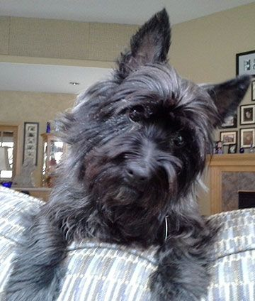 Adopted Petfinder Adoptable Dog Cairn Terrier White Bear