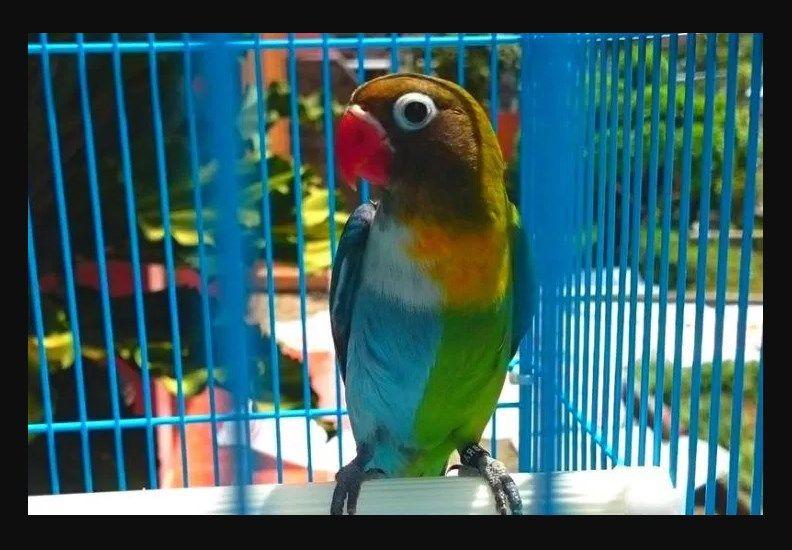 Jenis Burung Lovebird Termahal Lovebird Halfsider Warna Burung Cantik Burung