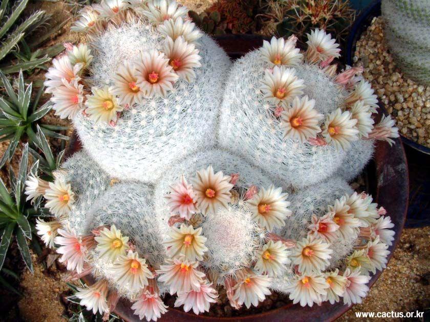 비단선인장 그림게시판 - 만월(滿月) Mammillaria estanzuelensis