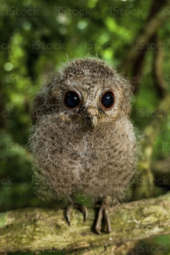 Young Collared Scops Owl royalty-free stock photo