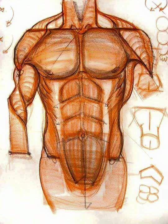Pin by Marysia Rochowiak on ANATOMIA | Pinterest | Anatomy and Sketches