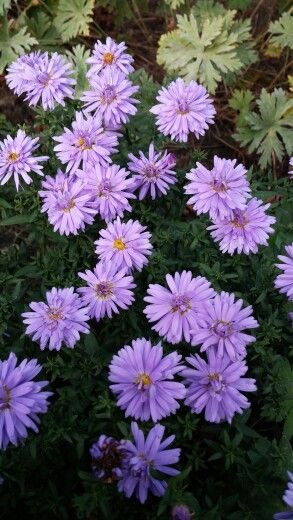 Herst....Asters!