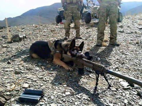 German Shepherd With Sniper Rifle