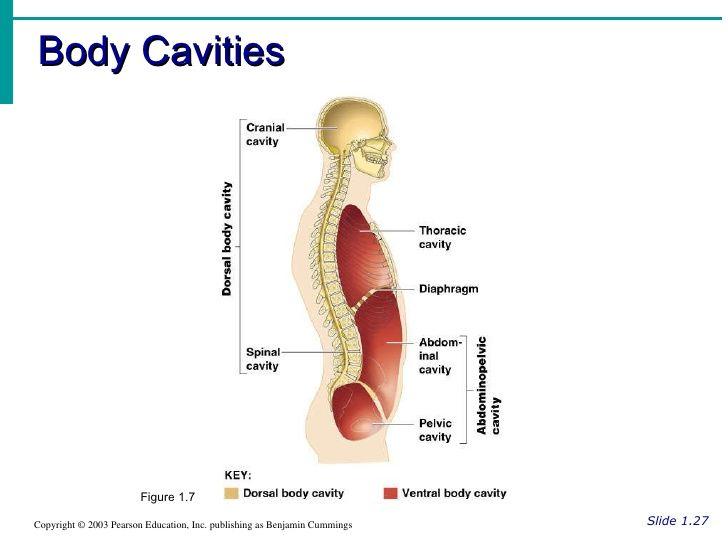 ap-human-body-orientation-12-728.jpg (728×546)   Medical ...