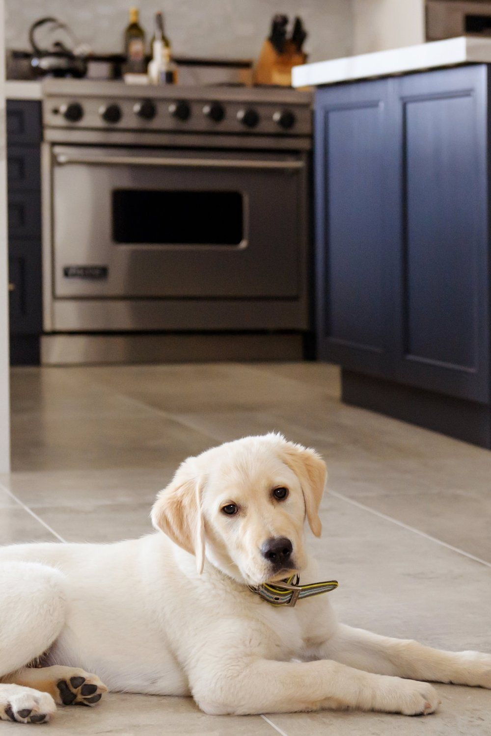 Woodstock The Golden Retriever Labrador Puppy On Oversized