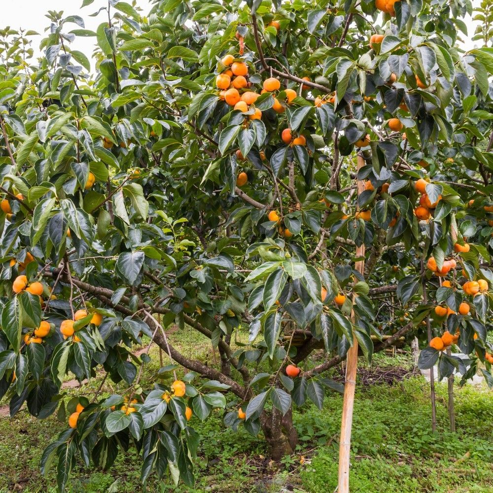 2 25gal Native Persimmon Tree National Plant Network In 2021 Plants Japanese Plum Tree Arizona Backyard Landscaping