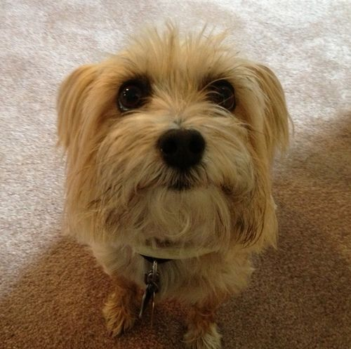 Annie Is An Adoptable Silky Terrier Dog In Canton Ma Annie Is A 6 Year Old Female Silky Terrier She Needs To Be Adopted W Silky Terrier Terrier Dogs Terrier