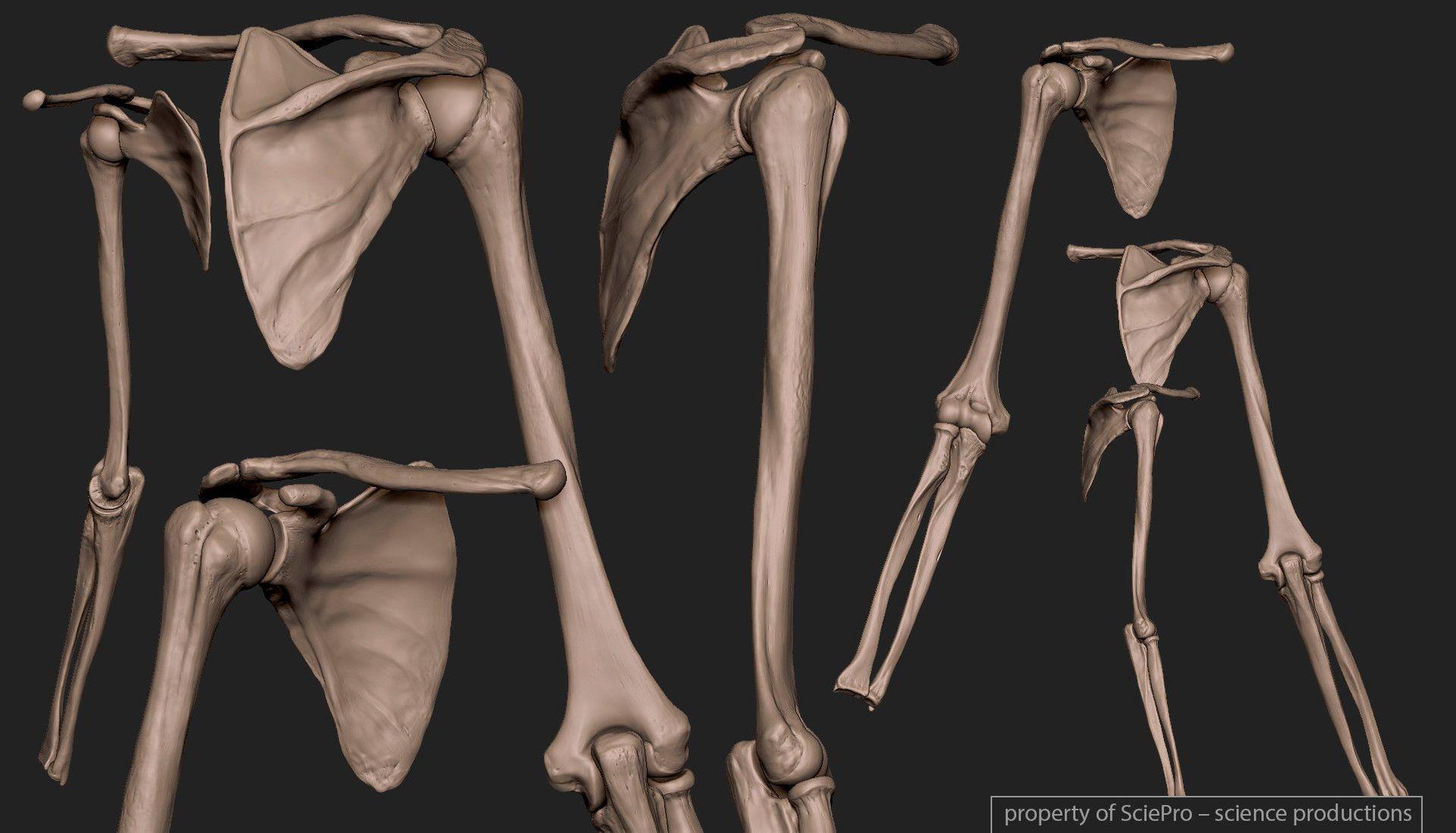 ArtStation - Human Skeleton, Boris Moskalenko | Human Anatomy ...