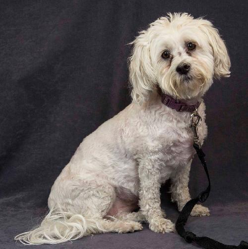 Adopt Haupia On Beautiful Dogs Bichon Frise Adoption
