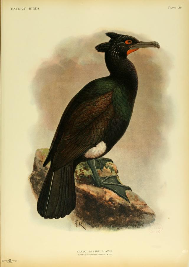* Cormorão de Lunetas * Extinto. (Phalacrocorax perspicillatus). (by John Gerrard Keulemans).