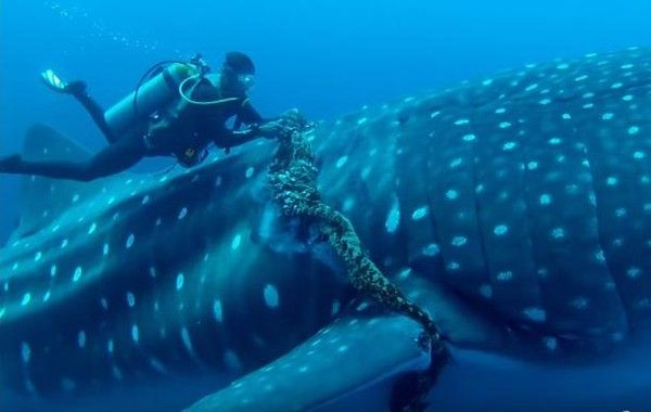 Faith In Humanity Restored Whale Shark Tangled In Deadly Rope