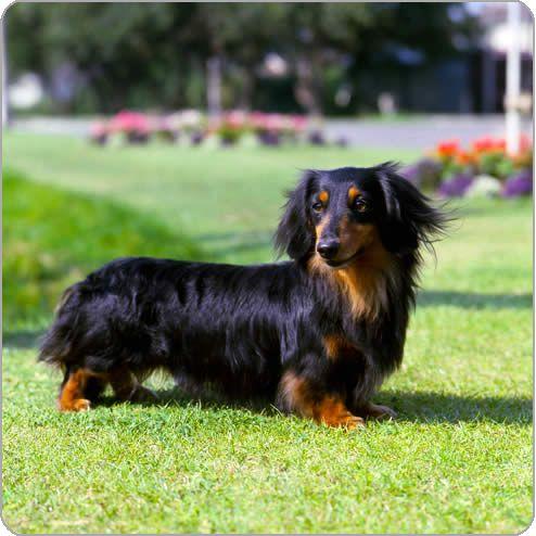 Purina Dog Breeds Dachshund Miniature Long Haired Just Like