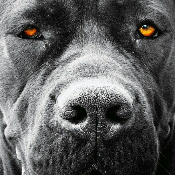 Italian Cane Corso Found On Instagram Com This Is A Gorgeous