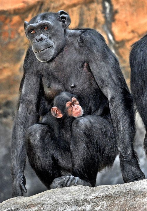 New Baby Chimp For Los Angeles Zoo Chimp Chimpanzee Zooborns