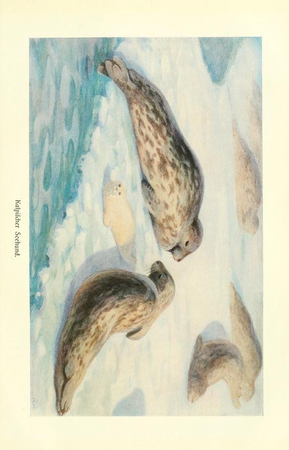 Seal, Brehms Tierleben: Allgemeine kunde des Tierreichs, Vol XI, Alfred Edmund Brehm, 1911.