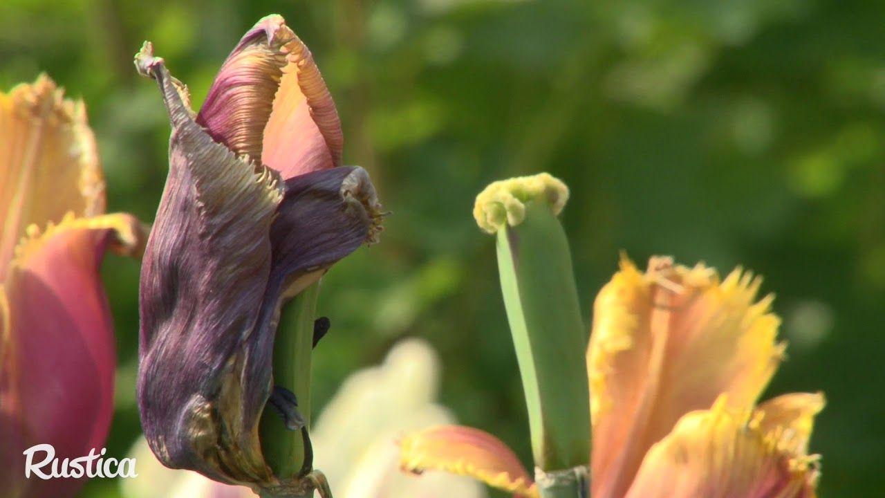 Quand et comment couper les fleurs fanées des tulipes (met ...