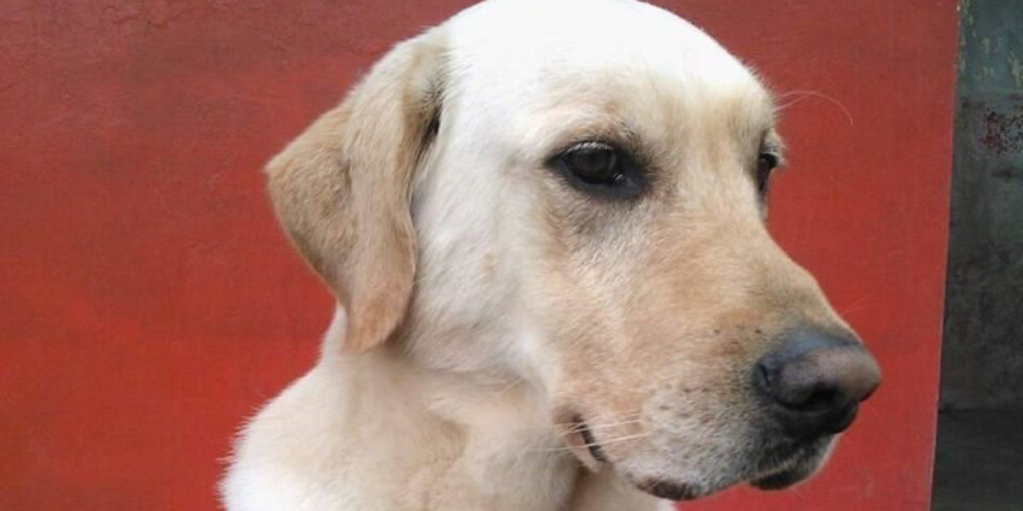 Hero Dog Rescues 7 People Then Collapses And Dies Rescue Dogs