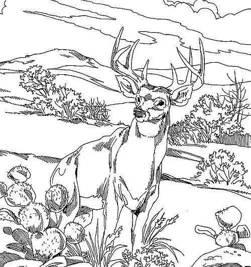 Whitetail Deer Coloring Pages Coloring books Adult coloring and