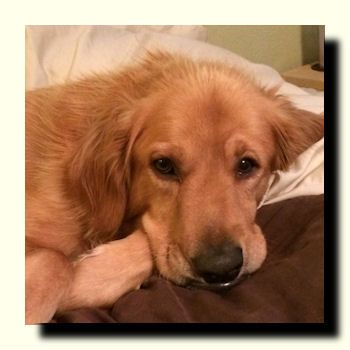 His So Cute Golden Retriever Rescue Golden Retriever Dog Adoption
