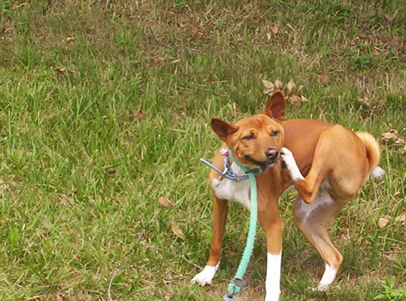 Basenji Dog Breed Information 1. They're lively. 2. They