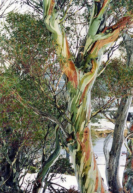 Snowgum Rainbow Eucalyptus Tree Unique Trees Eucalyptus Tree