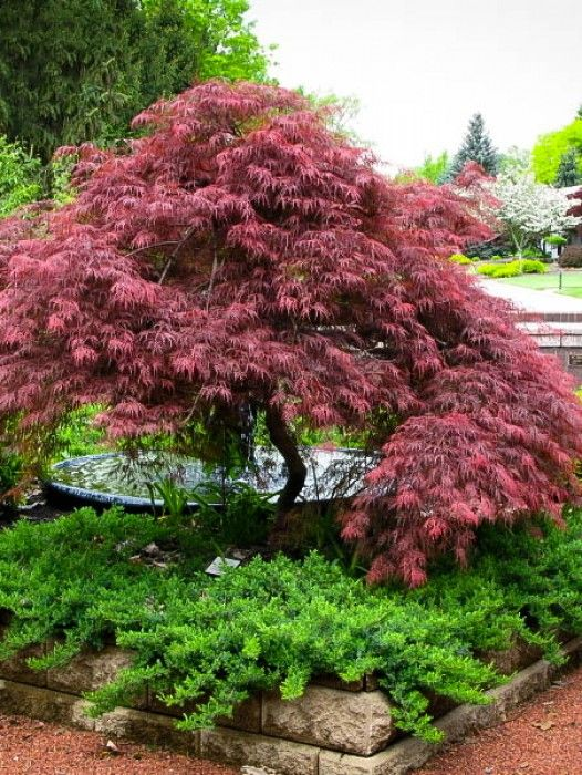 Japanese maple corner of my house google search for Japanese garden plants and trees