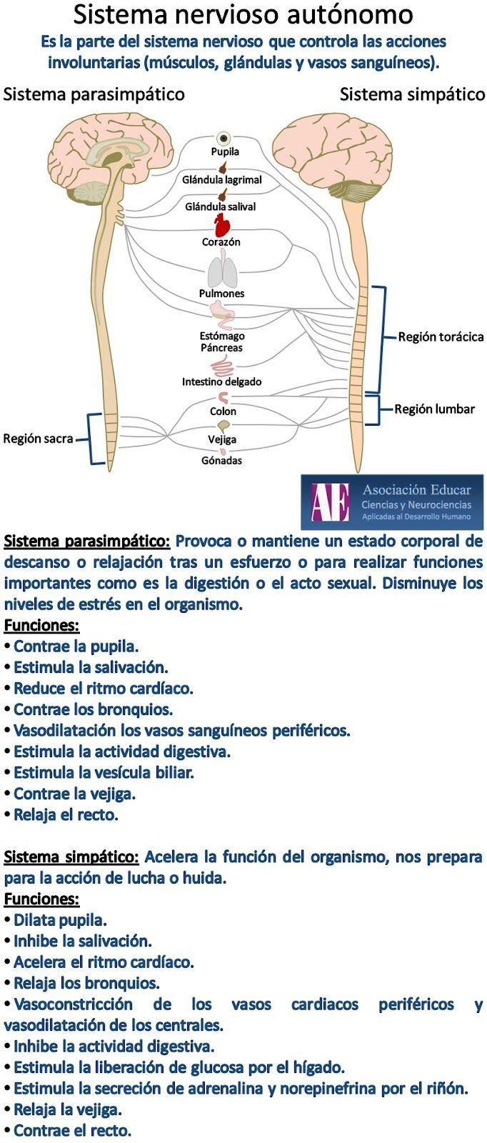 Sistema nervioso autónomo.   Prince Bonnie   Pinterest   Sistema ...