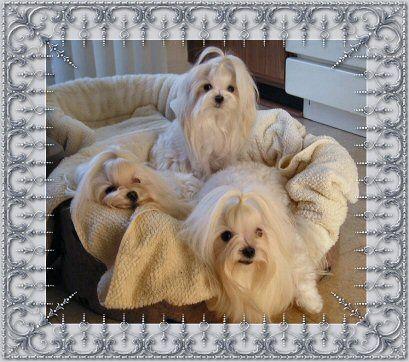 Maltese Breeders of Maltese Puppies & Champion Maltese Dogs