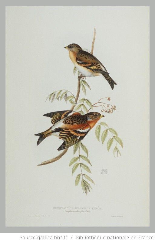 [Illustrations de The Birds of Europe, t. III, Insessores] / John Gould, Elizabeth Gould, Edward Lear, ill. - 39