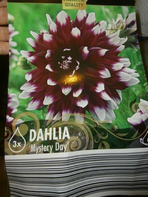 Dahlia Mystery Day Lidl Bulbs Jardins