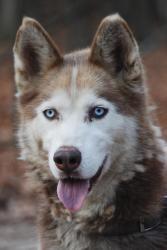 Adopt Strawberry On Dogs Siberian Husky Rescue Siberian Husky Dog