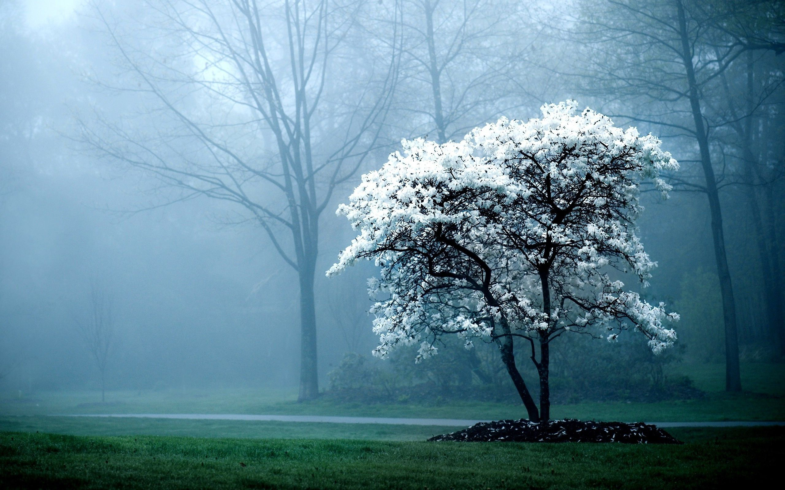 White Tree Fog Mist Forest Hd Wallpapers Lovely Desktop Background White Magnolia Tree Tree Hd Wallpaper Nature Photos