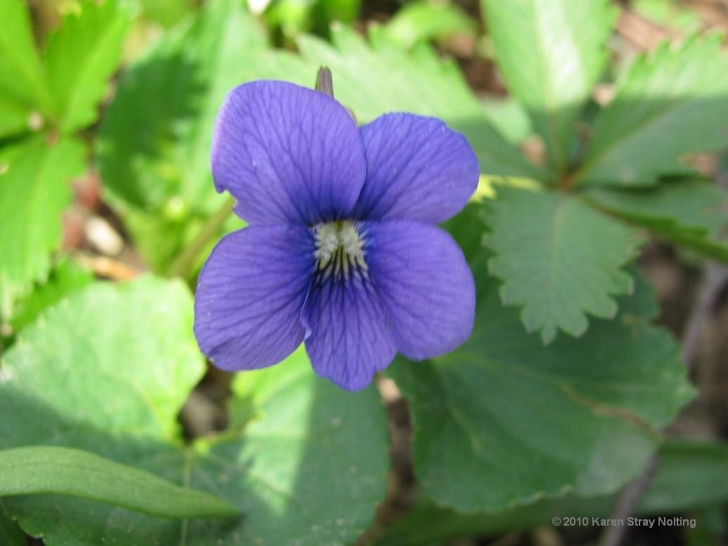 New Jersey State Flower | viola sororia common blue violet ...