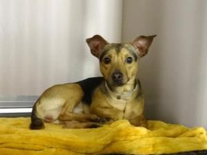 Fletcher Is An Adoptable Chihuahua Dog In New York Ny A