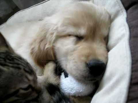 Sleeping Puppy Gets Bath From Kitty Sleeping Puppies Golden