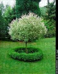 dapple willow tree plant - Google Search