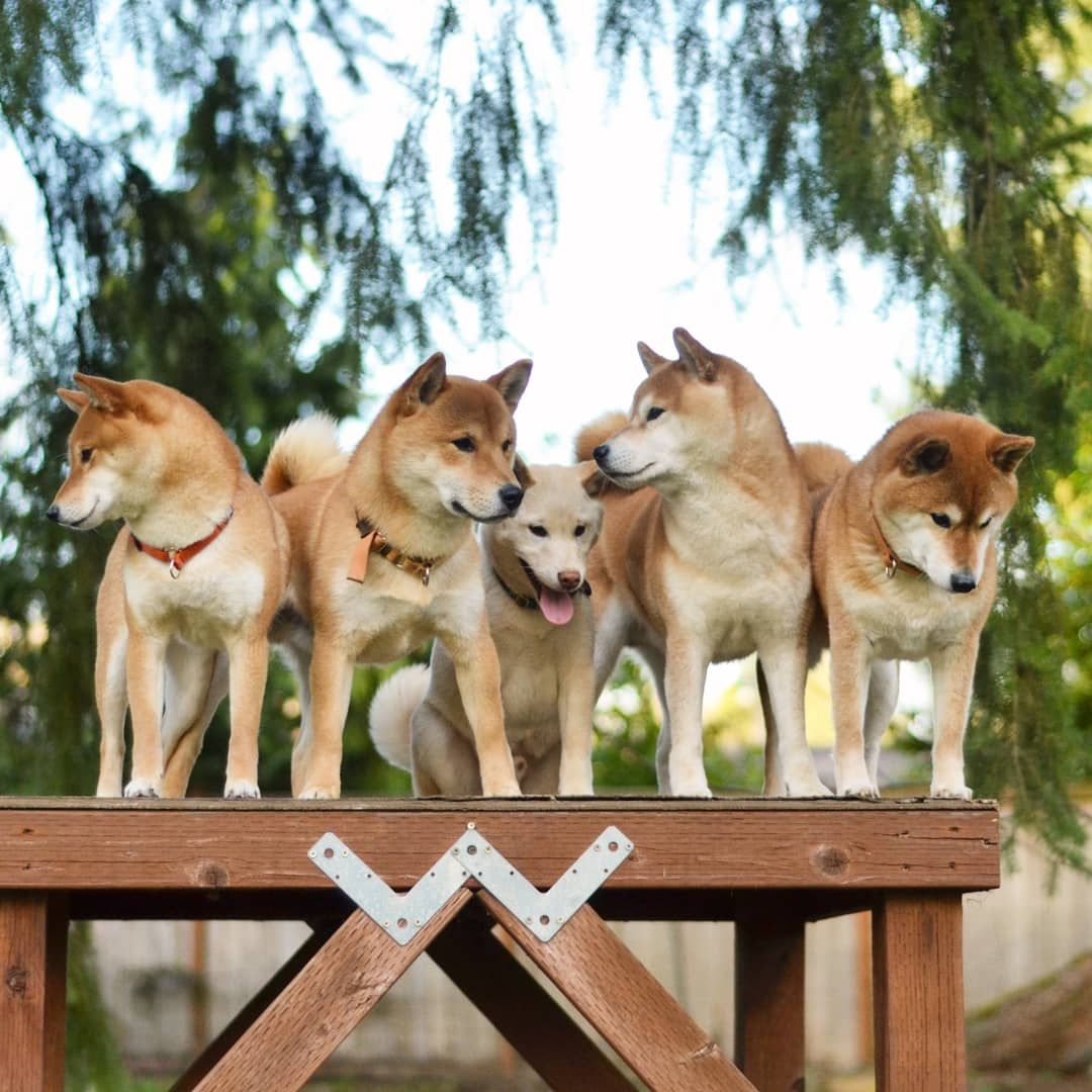 Visited Kibou's breeder and Shiba pack family.. He's the only ...