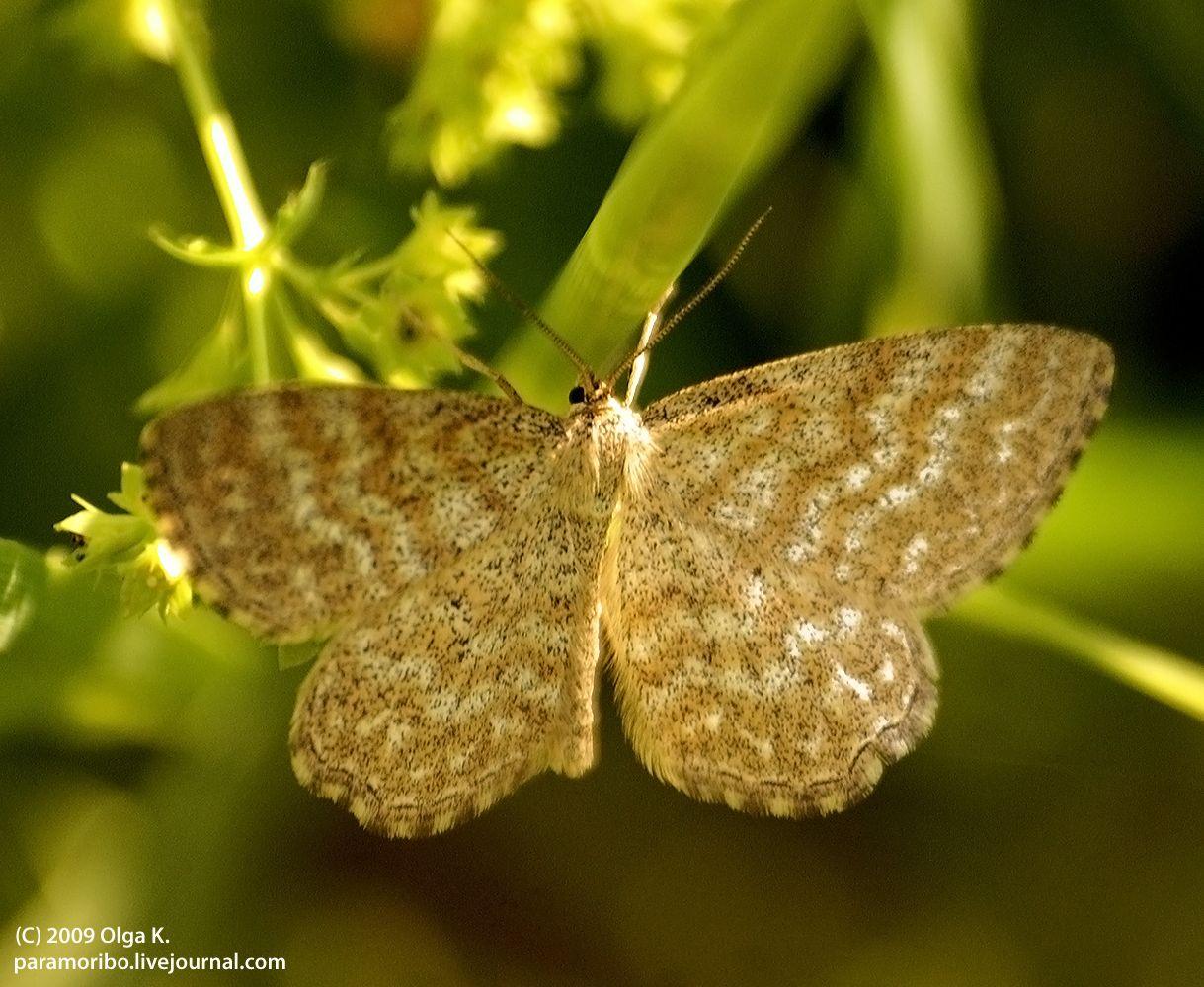 Пяденица малая волнистая (Scopula immorata), семейство Пяденицы