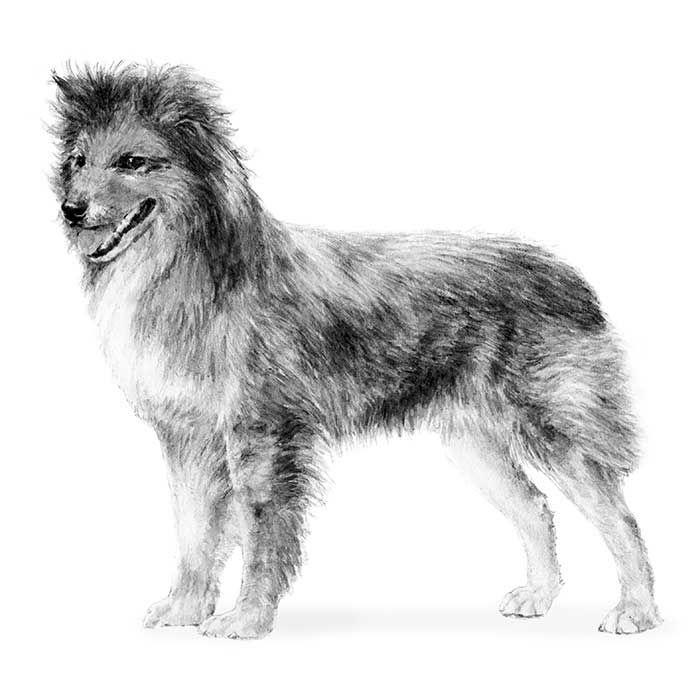 Pyrenean Shepherd Dog Breed Information Akc Dog Breeds Akc