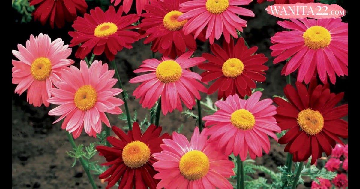 Paling Populer 30 Gambar Bunga Aster Warna Warni 25 Bunga Daisy Terindah Wanita22 Download Bunga Zinnia Aster Warna Foto Gratis Di Aster Bunga Bunga Daisy