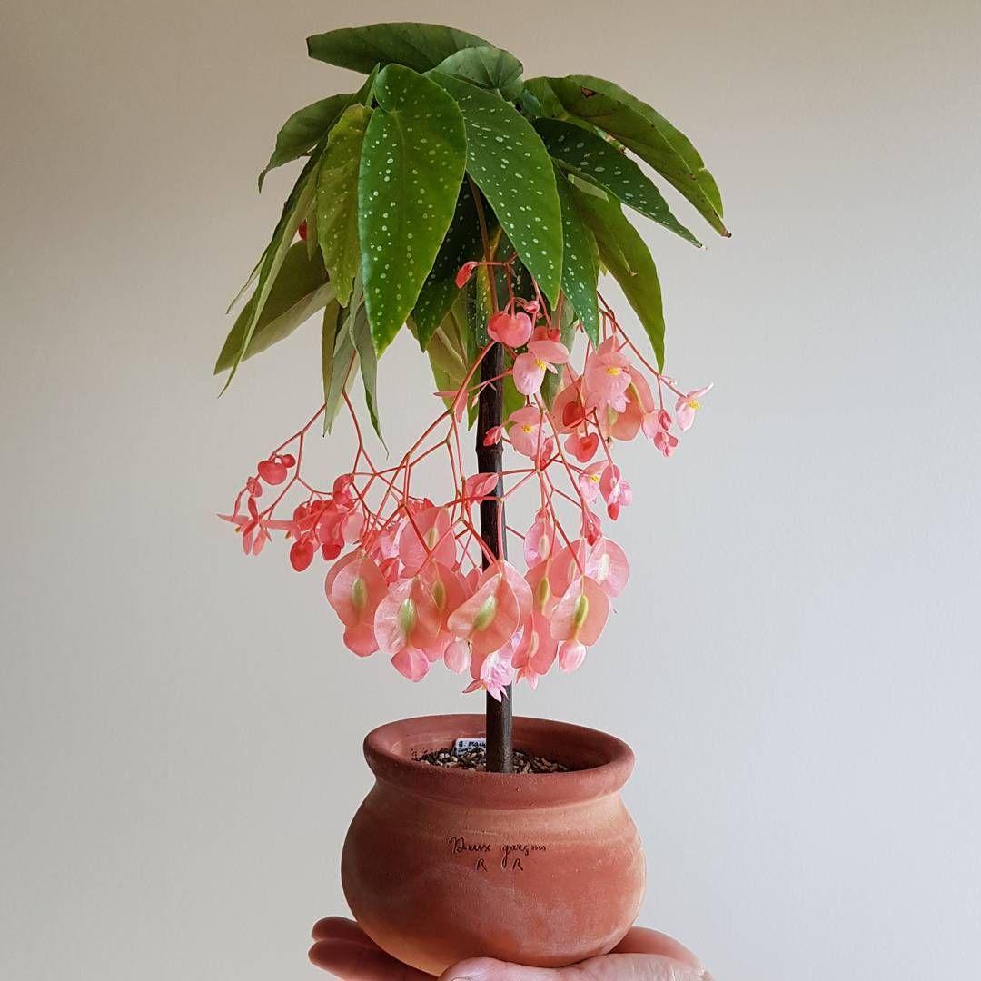 Begonia Maculata Tamaya Indoor Flowers Plants Patio Plants
