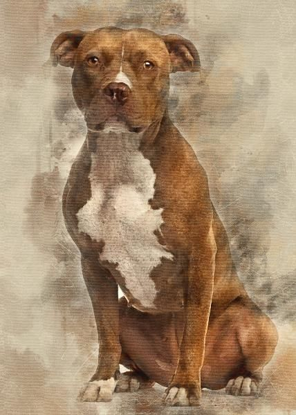 American Staffordshire Terrier sitting and looking at camera against white background