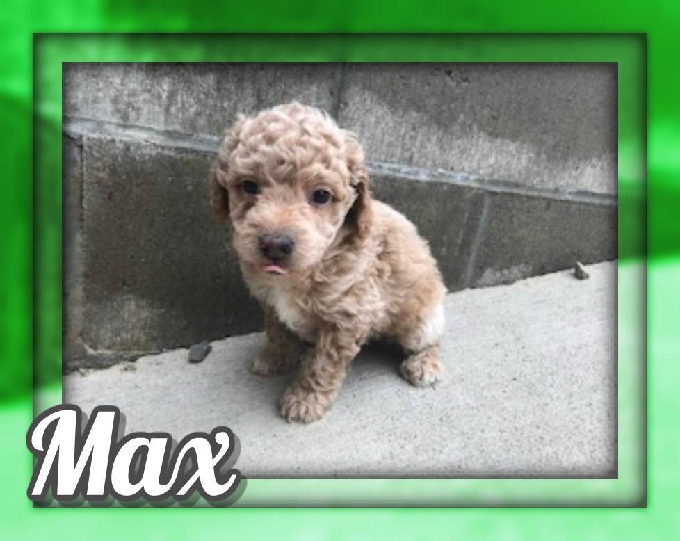 Max Male Mini Poodle 850 (With images) Mini poodles