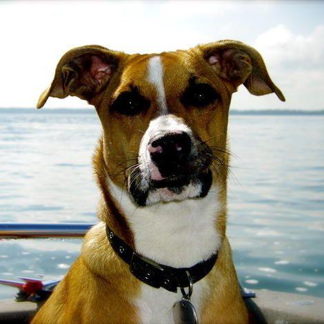 Boxer Pitbull Beagle Mix Images Google Search
